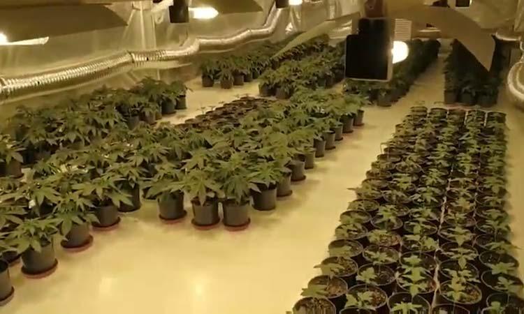 Εντοπίσθηκε πλήρως εξοπλισμένο φυτώριο καλλιέργειας δενδρυλλίων κάνναβης στη Λυκόβρυση