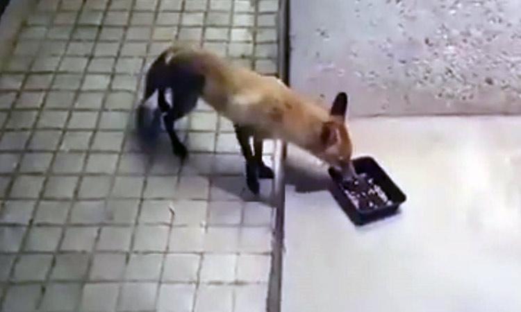 Τι ζητούσε η αλεπού… στην Εκάλη;