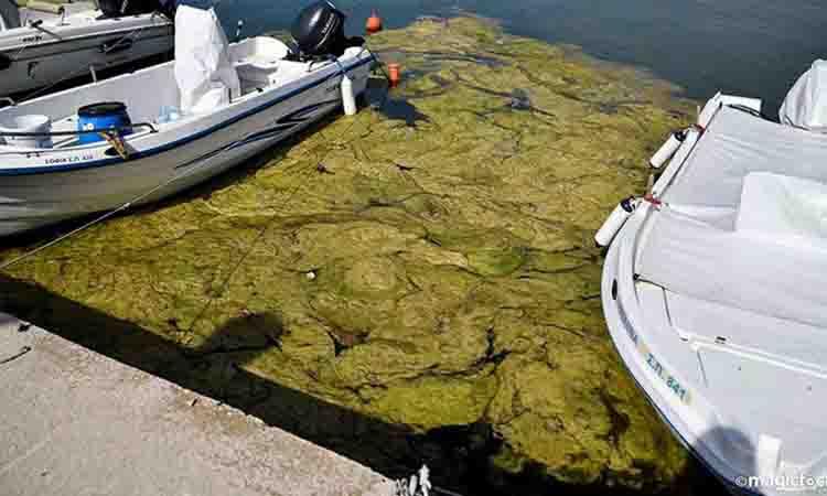 Πρέβεζα: «Πράσινη παλίρροια» από φύκια στο λιμάνι