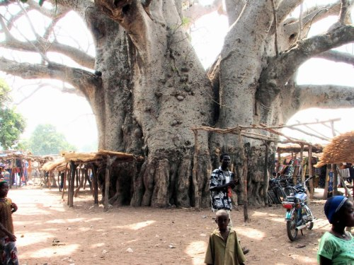 The great Baobab Tree by Alli Cooper