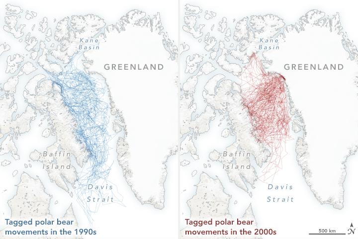 Polar Bears Struggle as Sea Ice Declines