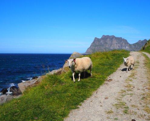 pecore sul sentiero di Uttakliev