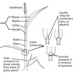 Horsetail Plant Diagram Easy Series Circuit Venn Weed Identification Tools And Techniques Extension Structure Of Grass Plants