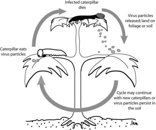 Insect Viruses