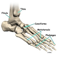 Joints Of The Foot Diagram Meyer Plow Wiring Dodge Anatomy Eorthopod Com