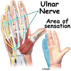 Hand Nerves Diagram Usb To Ps2 Controller Wiring Anatomy Eorthopod Com