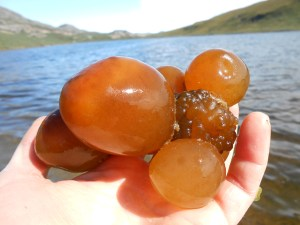 Sea tomatoes thrive in the harsh environment of Arctic lakes and can even weather multiple winters. Bigger sea tomatoes may be 25 years old, according to researchers. Credit: Jessica Trout-Haney