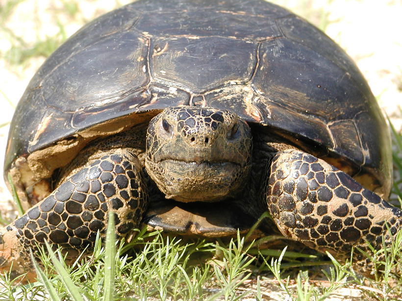 The gopher tortoise, currently endangered because of habitat loss, digs burrows that provide homes to more than 300 other types of animals.