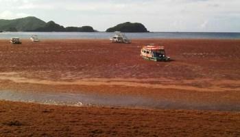 Tobago 2015 Sargassum beaching