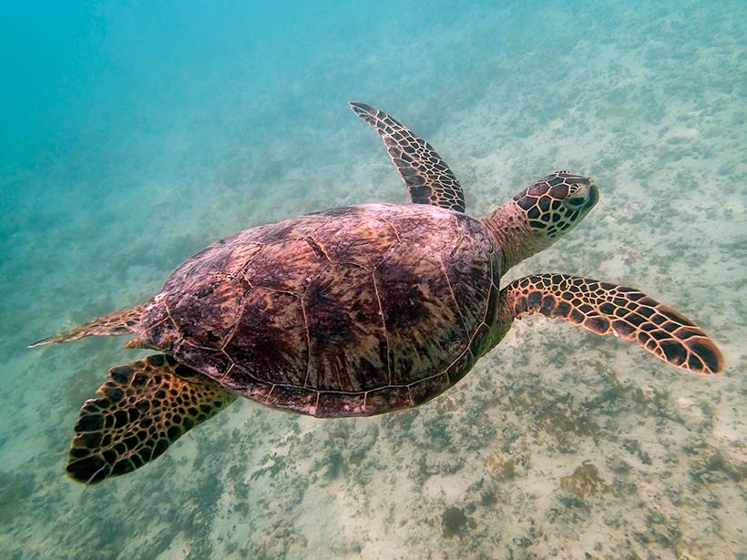 Hawaiian green sea turtle swimming near Honolulu, Hawaii.