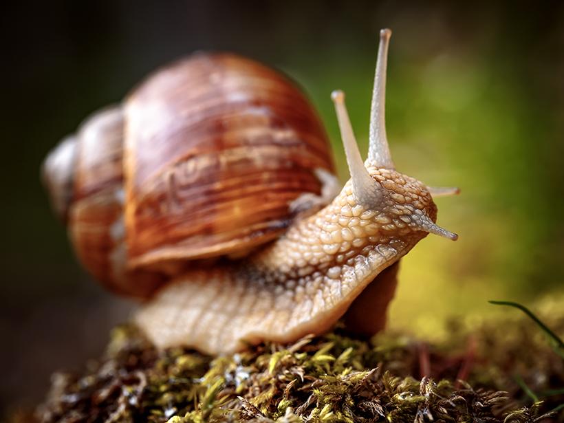 Helix pomatia snail shell from Italy