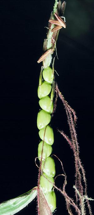 An ear of teosinte, corn's grassy, wild ancestor.