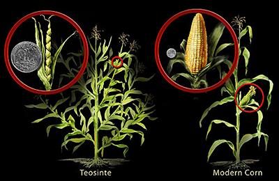 Tosonite compared to modern corn