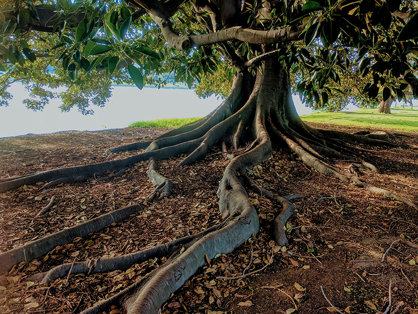Fig tree with exposed root system