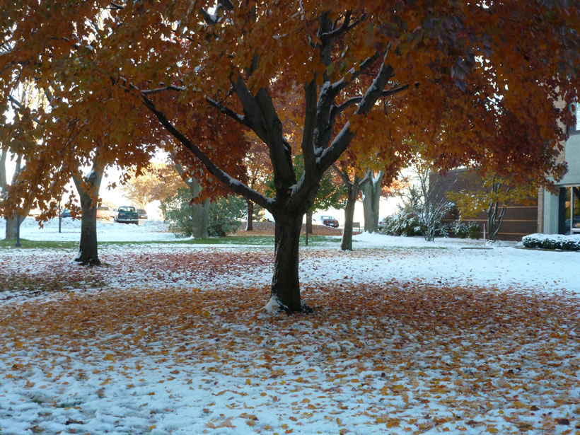 Tree leaves changing color as snow falls