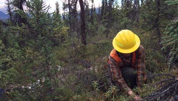 A USDA Forest Service worker takes measurements for the national forest carbon inventory in Alaska.