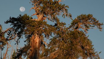 The moon rises behind a tree in the Ancient Bristlecone Pine Forest in California