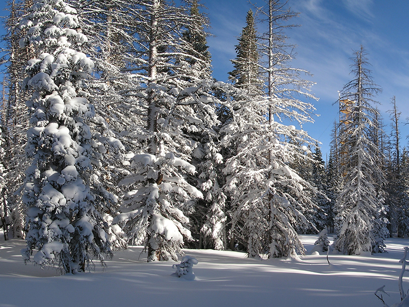 Snow-covered trees affected by the spruce beetle