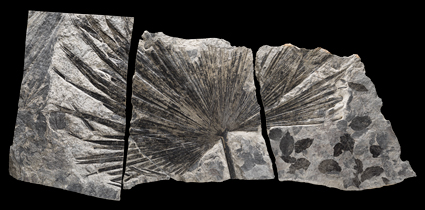 Trace fossil of a palm