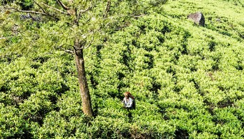 Photo of a sunny hillside tea plantation