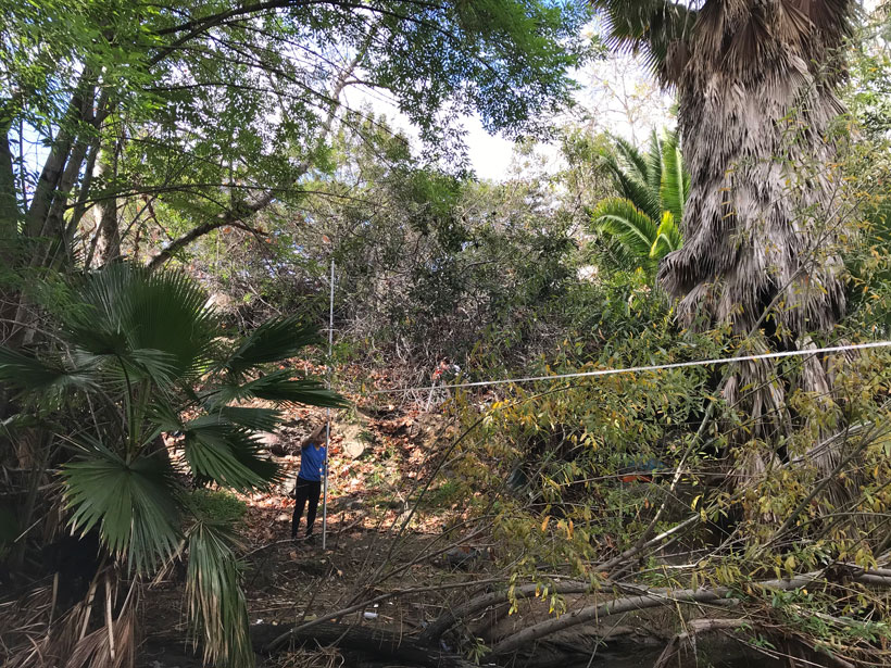 Photo of palm trees with lots of dead fronds in canyon in Alvarado Creek