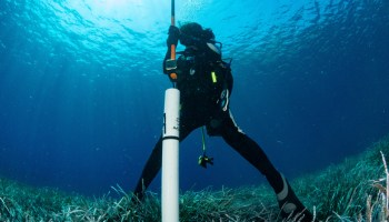 A researcher collects a soil core from a marine coastal ecosystem dominated by the seagrass Posidonia oceanica.