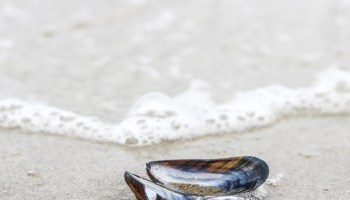 Close-up of a mussel shell near the waterline on a sandy beach