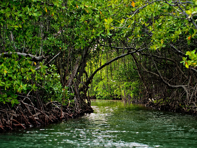 A mangrove forest next to a river in Puerto Rico