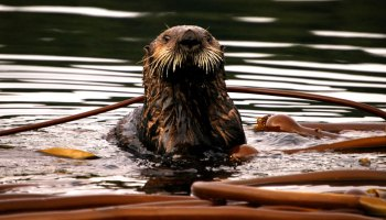 A sea otter in the water with bull kelp