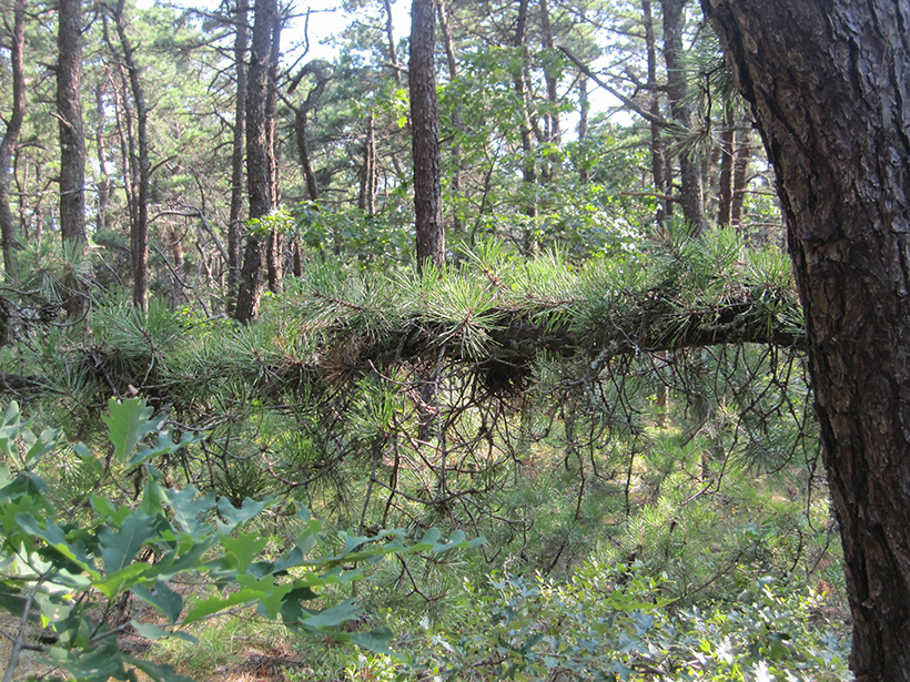 Thick pine forest of Wellfleet Bay Wildlife Sanctuary in Cape Cod, Mass.