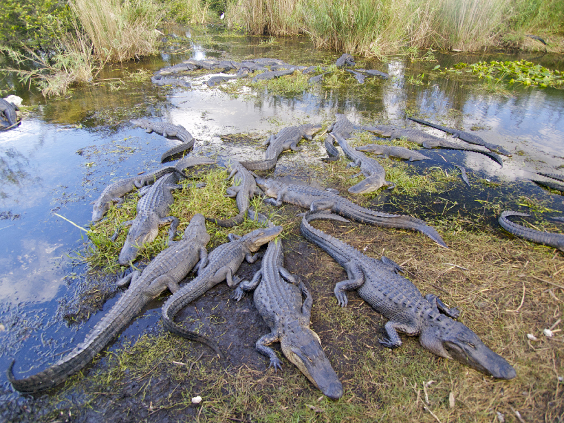 Two dozen alligators gather in clusters in a swampy area of Everglades National Park