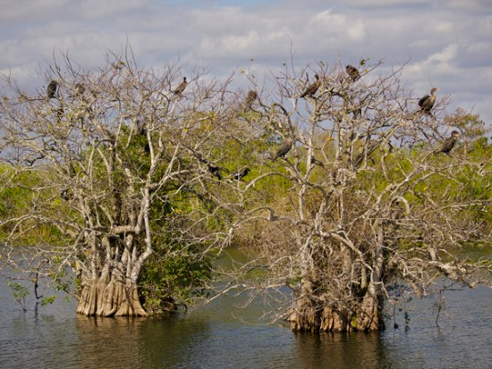 Birds sit in the branches of two desiccated trees in the Everglades