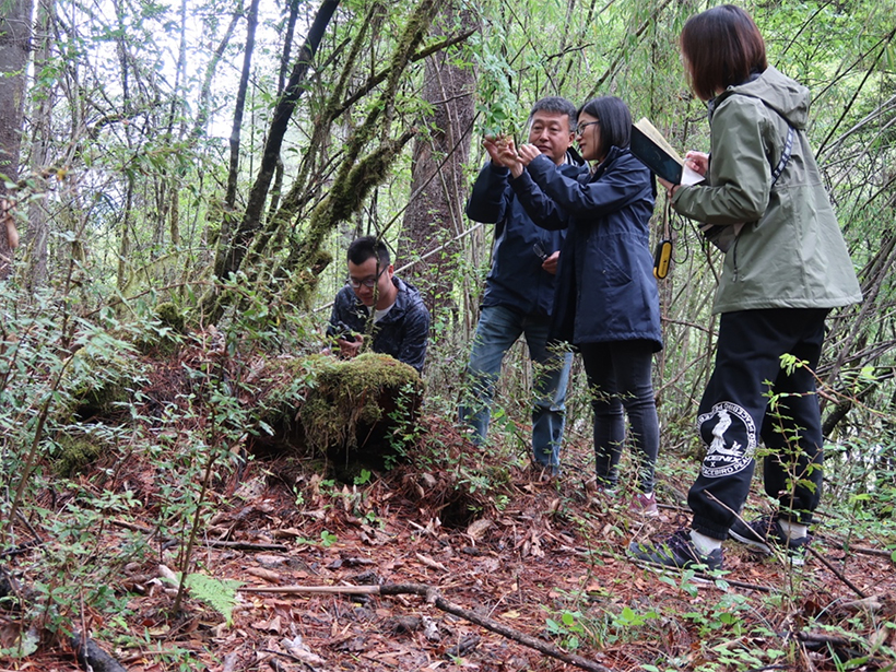 Four researchers study and take notes on leaves in a forest on the Tibetan Plateau in China.