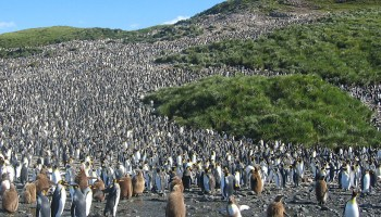 A colony of 60,000 pairs of king penguins stands on the exposed gray bedrock of South Georgia.