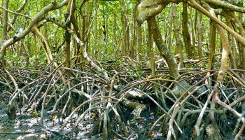 Mangrove trees in Rookery Bay National Estuarine Research Reserve in Naples, Florida.
