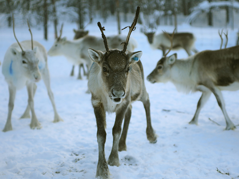 Reindeer walking on snow in a forest