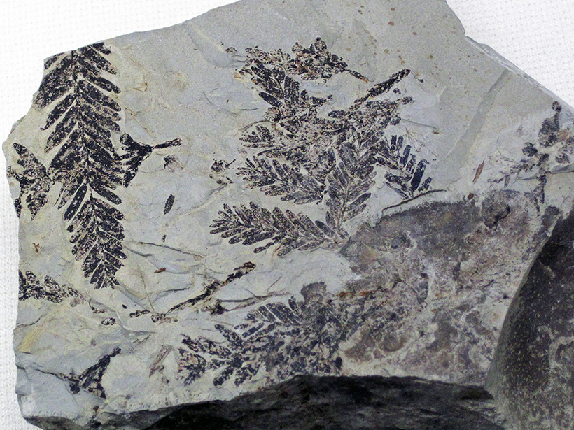 Fossil ferns of the Late Devonian