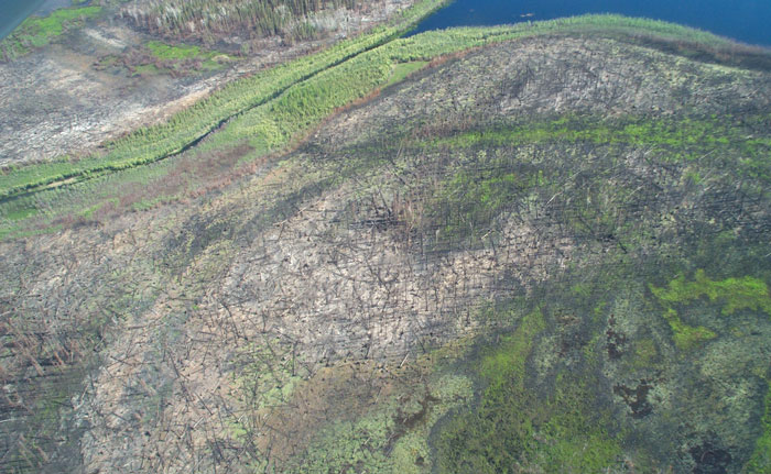 A bird's-eye view of the brown burn scar crisscrossed by fallen trees a year after a wildfire, surrounded by green vegetation