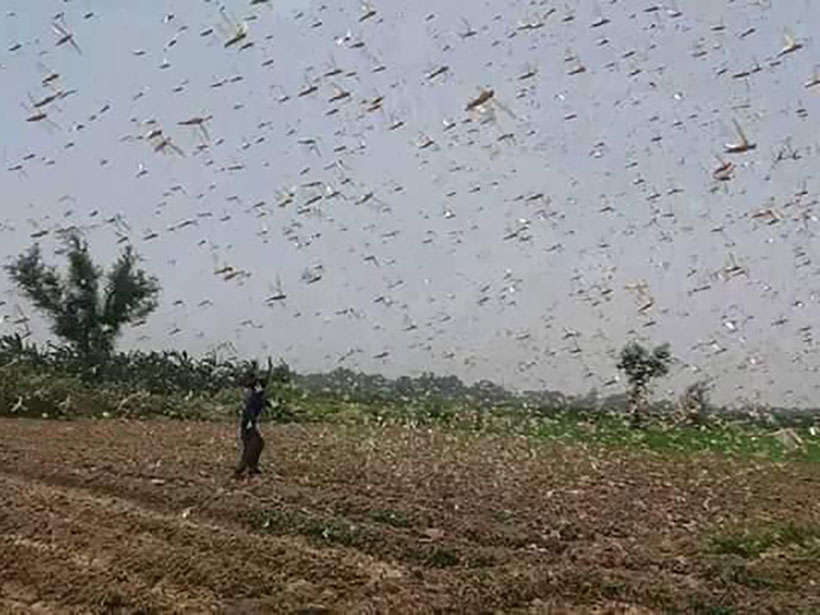 Thousands of locusts descend on an agricultural field