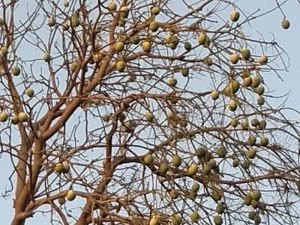 A mango tree is devoid of its leaves, which have been eaten by desert locusts
