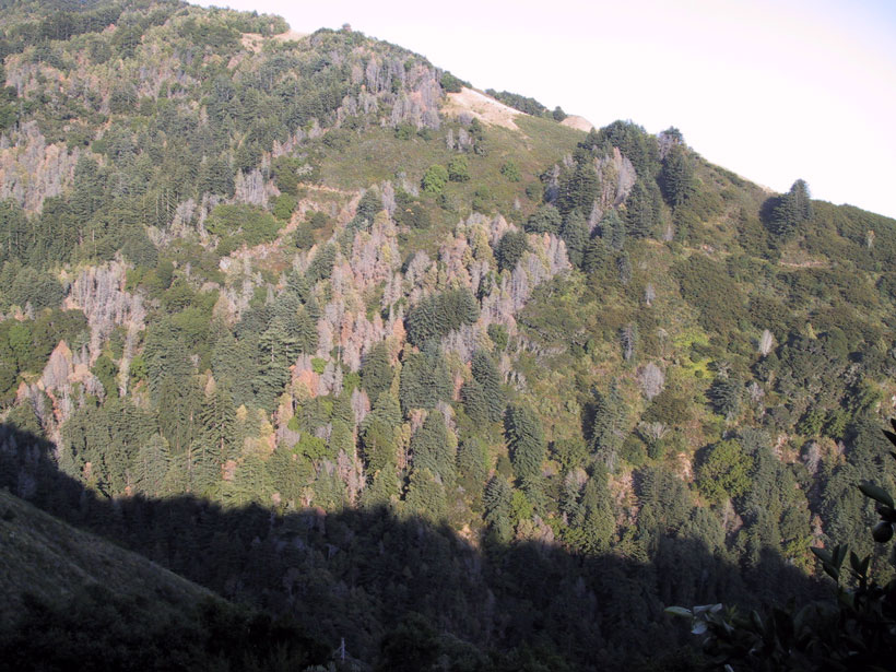 A forested hillside in California's Big Sur, with both living and dead trees