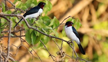 Two crimson-fronted cardinals perch on a leafy branch.