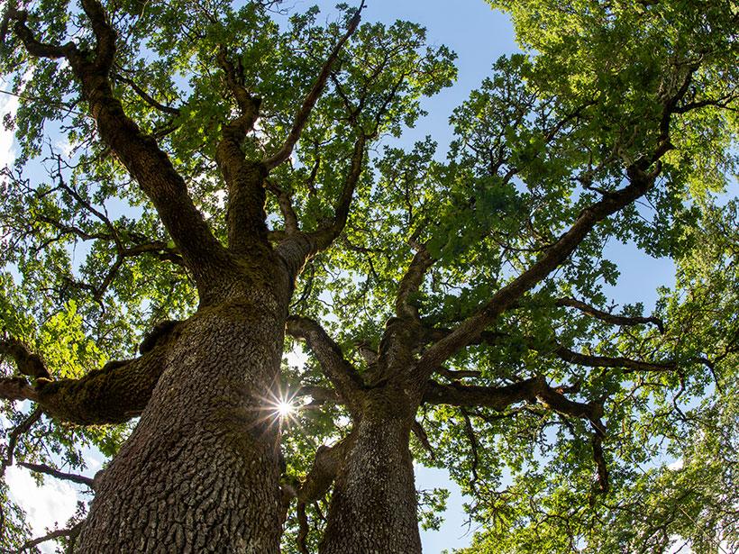 View toward the sky from beneath Oregon white oak trees