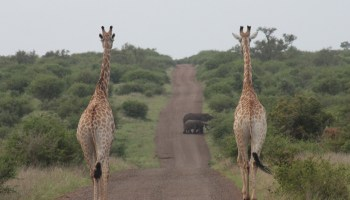 The behinds of two giraffes as they walk toward a couple of elephants on a dirt road in Kruger National Par