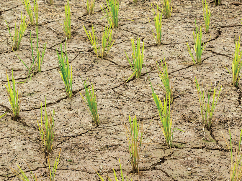 Green shoots rise from dry, cracked soil.