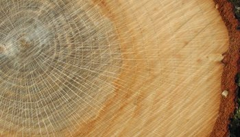 Tree rings visible in a slice of oak