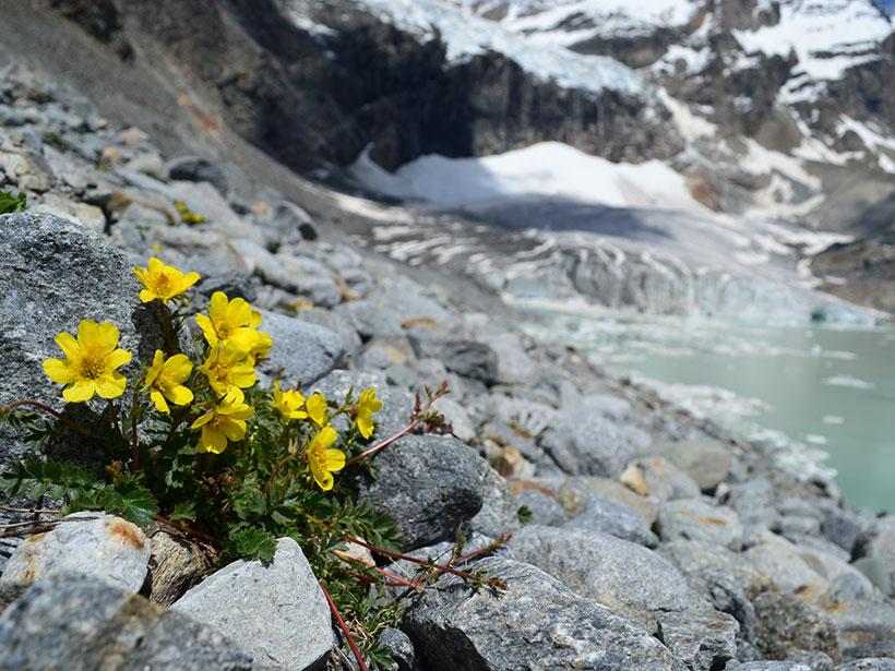 Detailed image of yellow flowers of Geum reptans growing at the toe of Trobio glacier