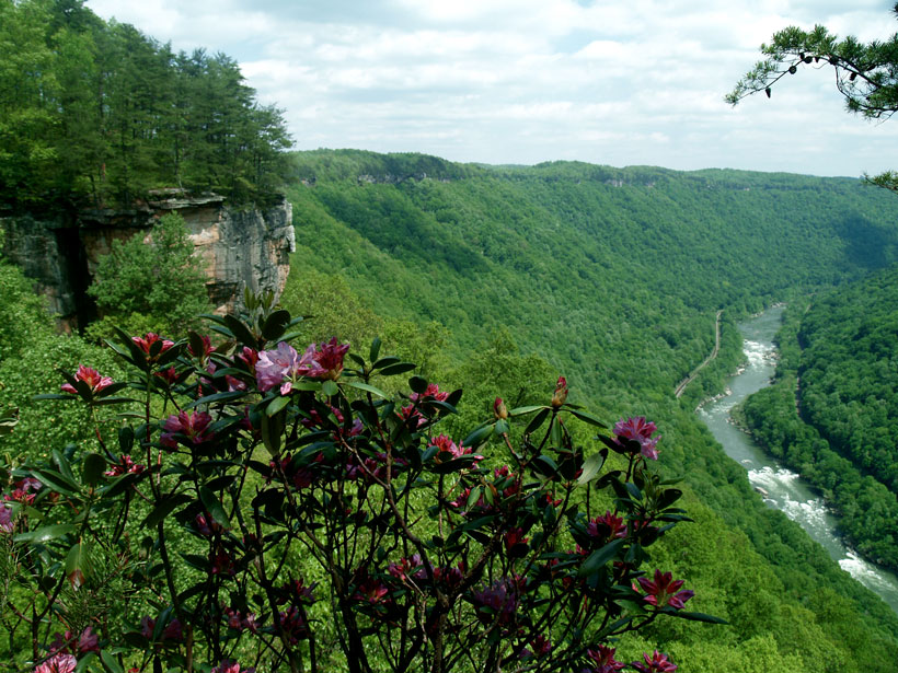 A rhododendron bush blooms pink flowers in front of the New River Gorge.