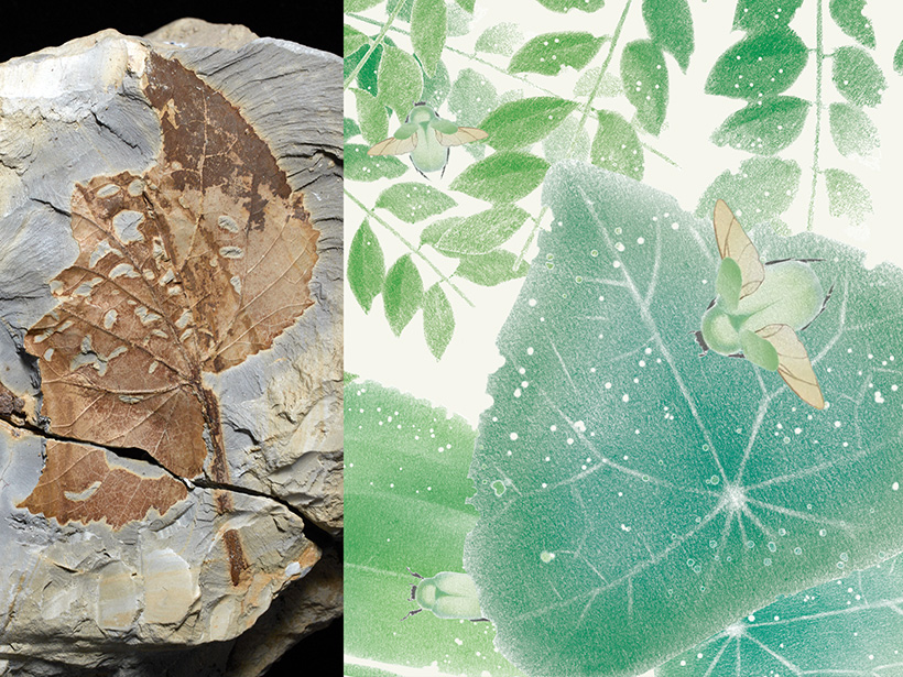 Photo and illustration of leaves from the Paleocene era with bites left by insects