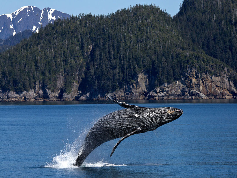 A humpback whale breaches in the Gulf of Alaska.